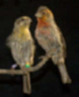 house finch, plumage coloration, Hill Lab