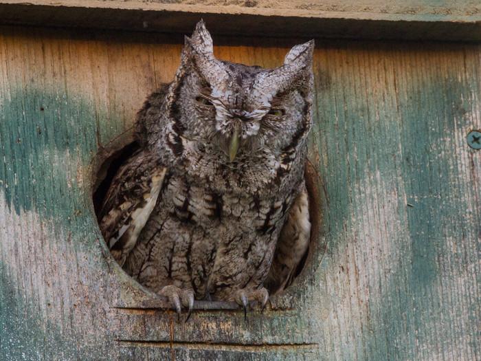 A Screech-Owl Hail Mary