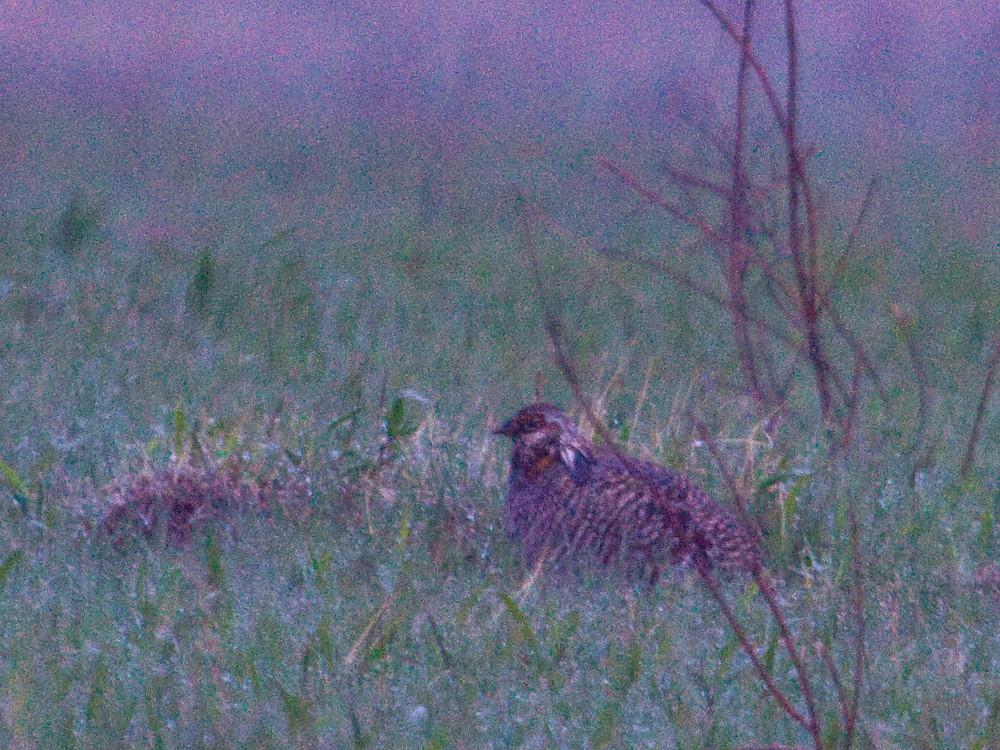greater prairie-chicken for blog.JPG