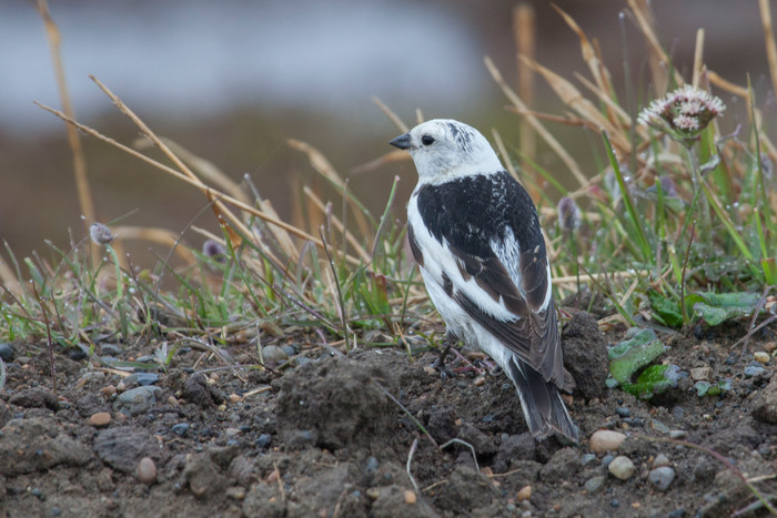 North Slope birding