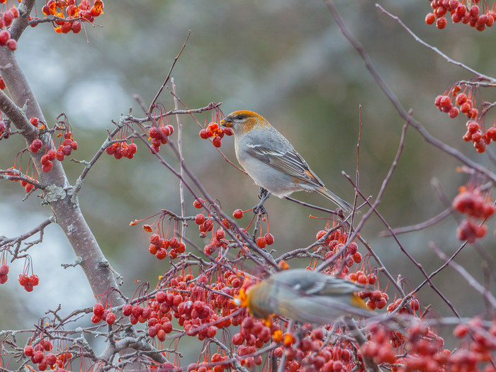 Winter North-country Birding