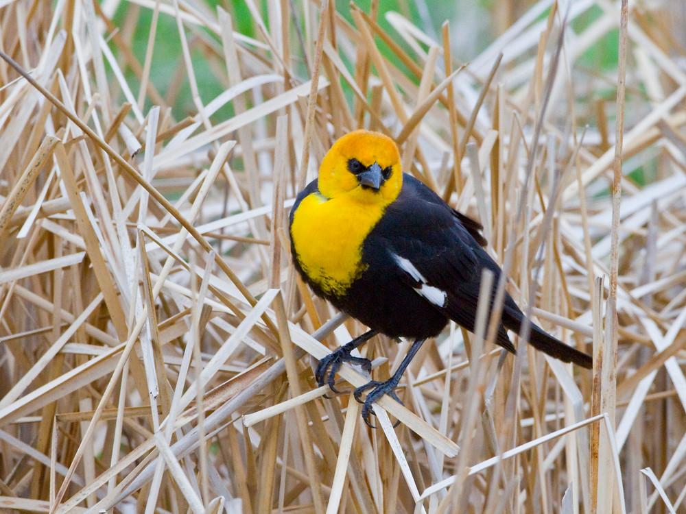 Yellow-headed Blackbird for blog.JPG