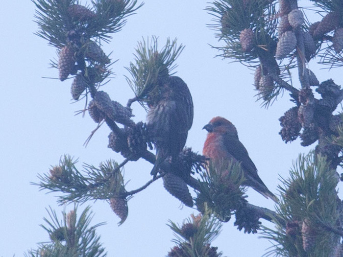 Cassia Crossbills in Cassia County, Idaho