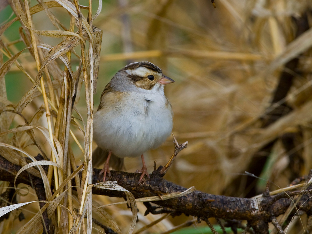 Clay-colored Sparrow for blog.JPG
