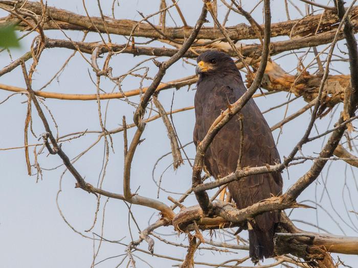 Common Black Hawk at Rio Grande Village