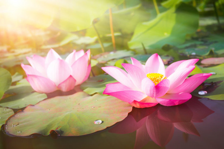 flor-de-lotus-rosa-linda-na-natureza-par