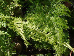 Ferns at Harvey's Front Garden