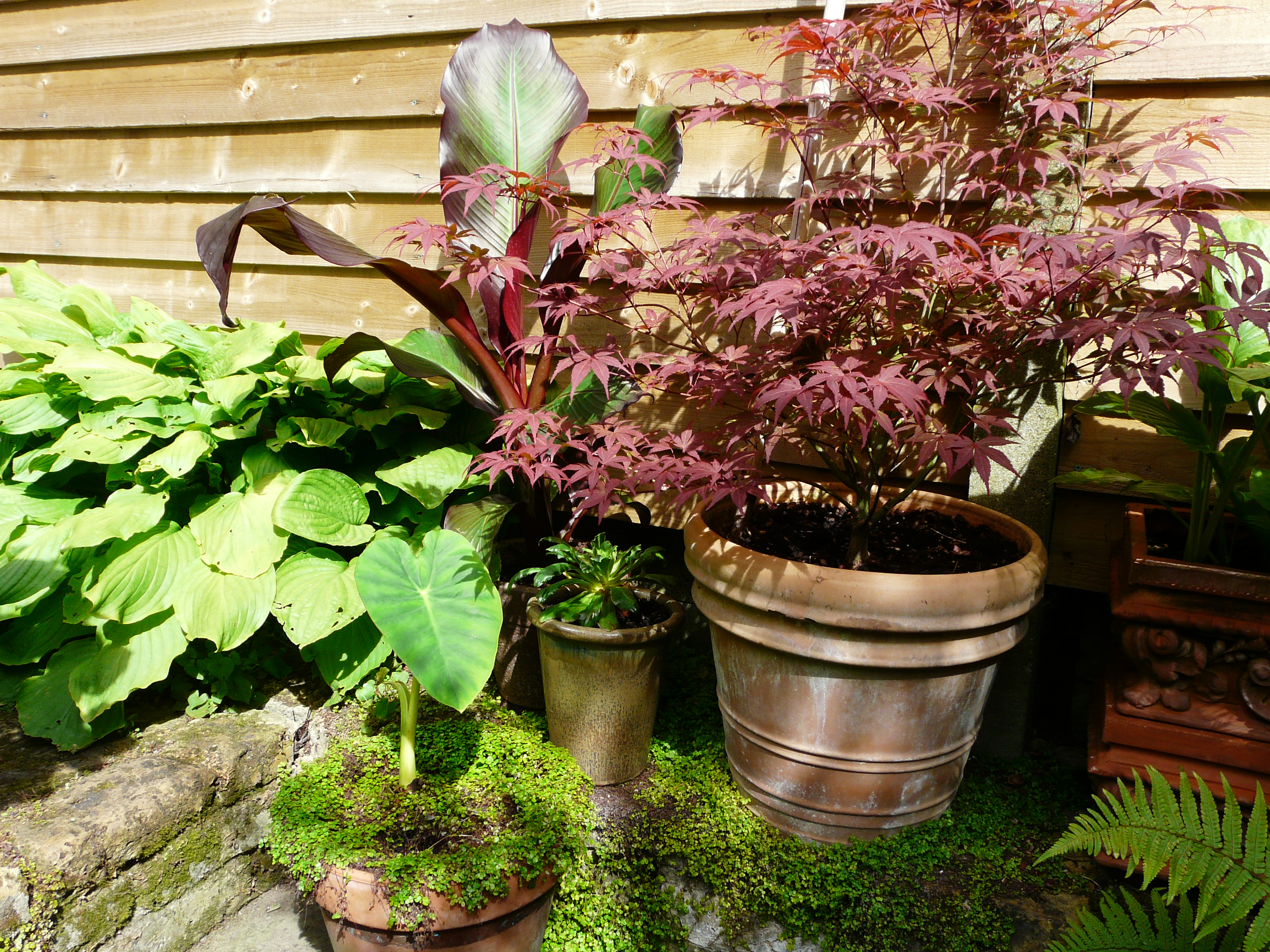 Fran's Acer and Hosta