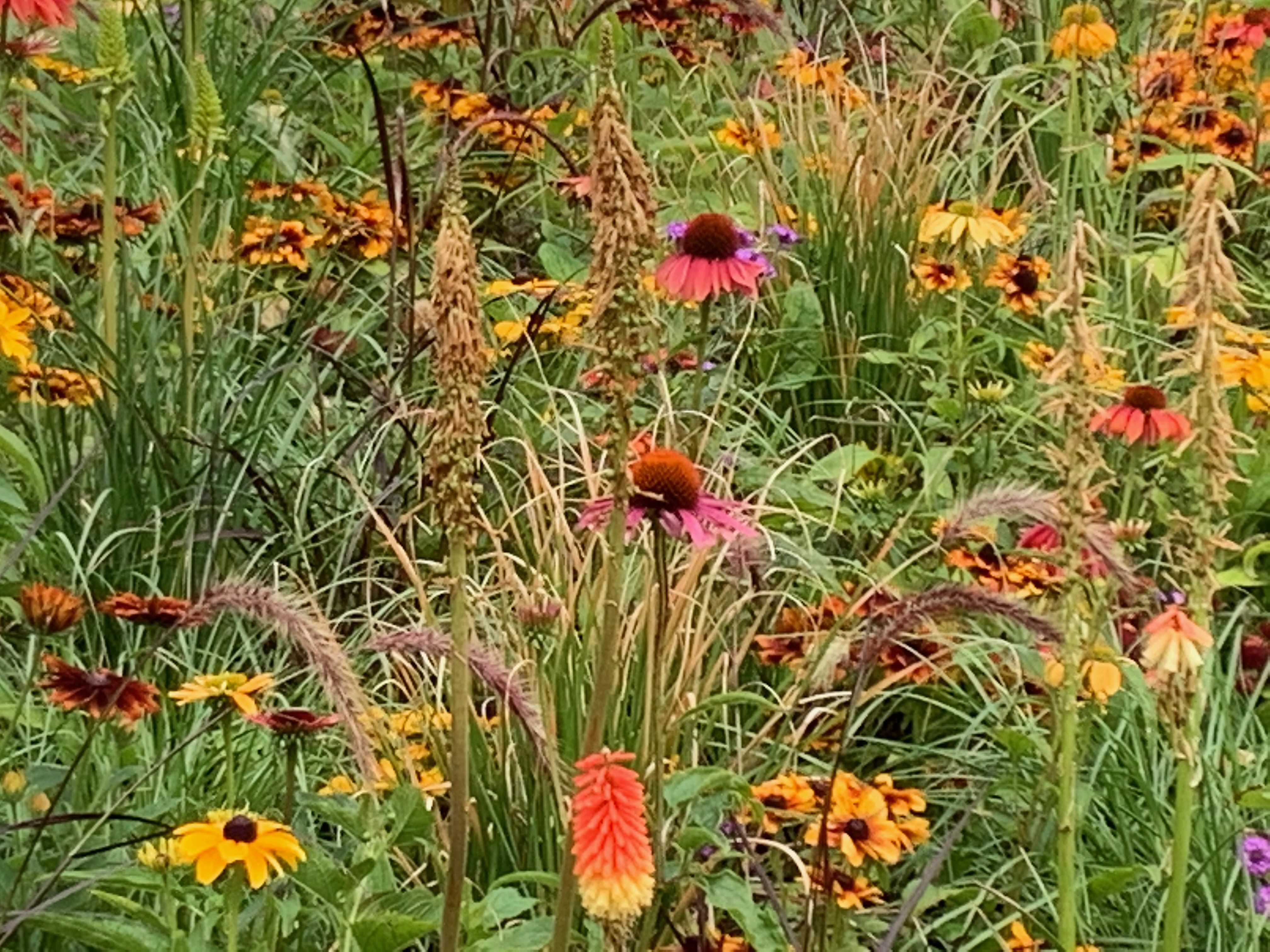 Echinacea in Hyde Park