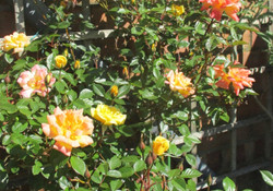 Susan's Rooftop Roses