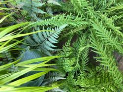 Harvey's Garden Ferns