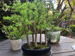 Peter's Bonsai - a stand of larches
