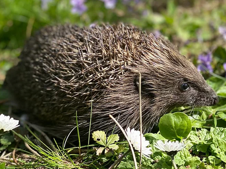 Spiny Normans and the hedgehog website 🦔