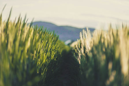 Field of oats.jpg