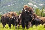 Herd of American Bison (Bison Bison) or