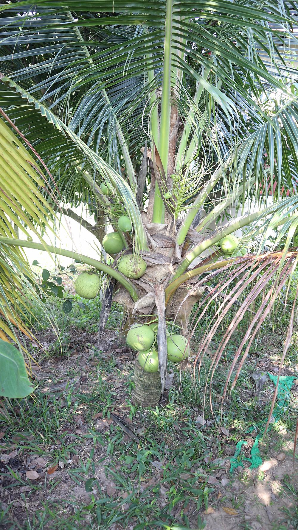 coconut tree bees garden cooking school