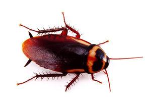 Oriental cockroach Spary.jpg