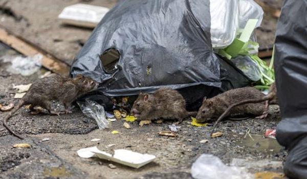 Rat exterminator Hawkesbury.jpg