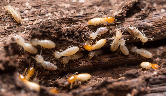 termites Inspections Hawkesbury.jpg