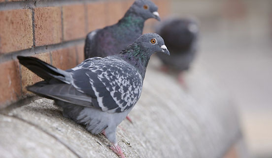 bird control Hawkesbury.jpg
