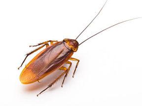 American Cockroach spray.jpg