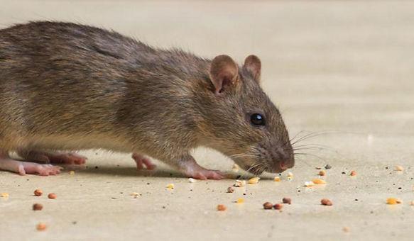 mouse exterminator Hawkesbury.jpg
