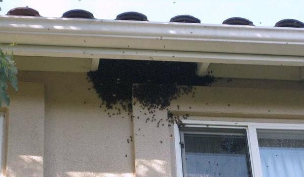 bees exterminator Hawkesbury.jpg