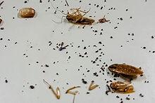 cockroach - poop.jpg