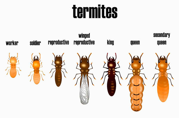 Termite-chart-different-types-of termites.jpg