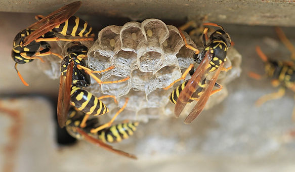 wasp exterminator Hawkesbury.jpg