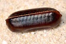 cockroach eggs.jpg