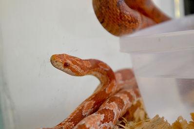 corn_snake_albino.jpg