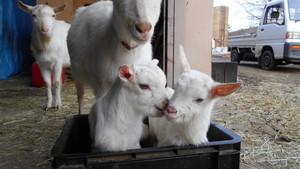 またまたヤギが生まれました
