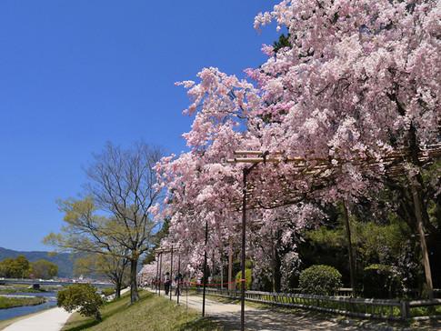 賀茂川(半木の道)