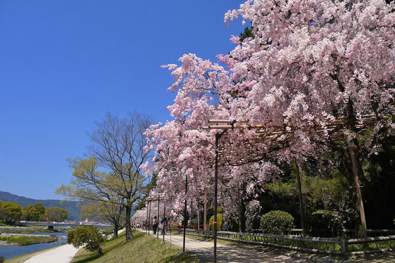 半木の道の桜