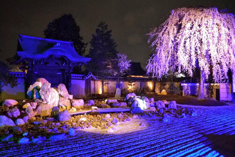 高台寺桜ライトアップ