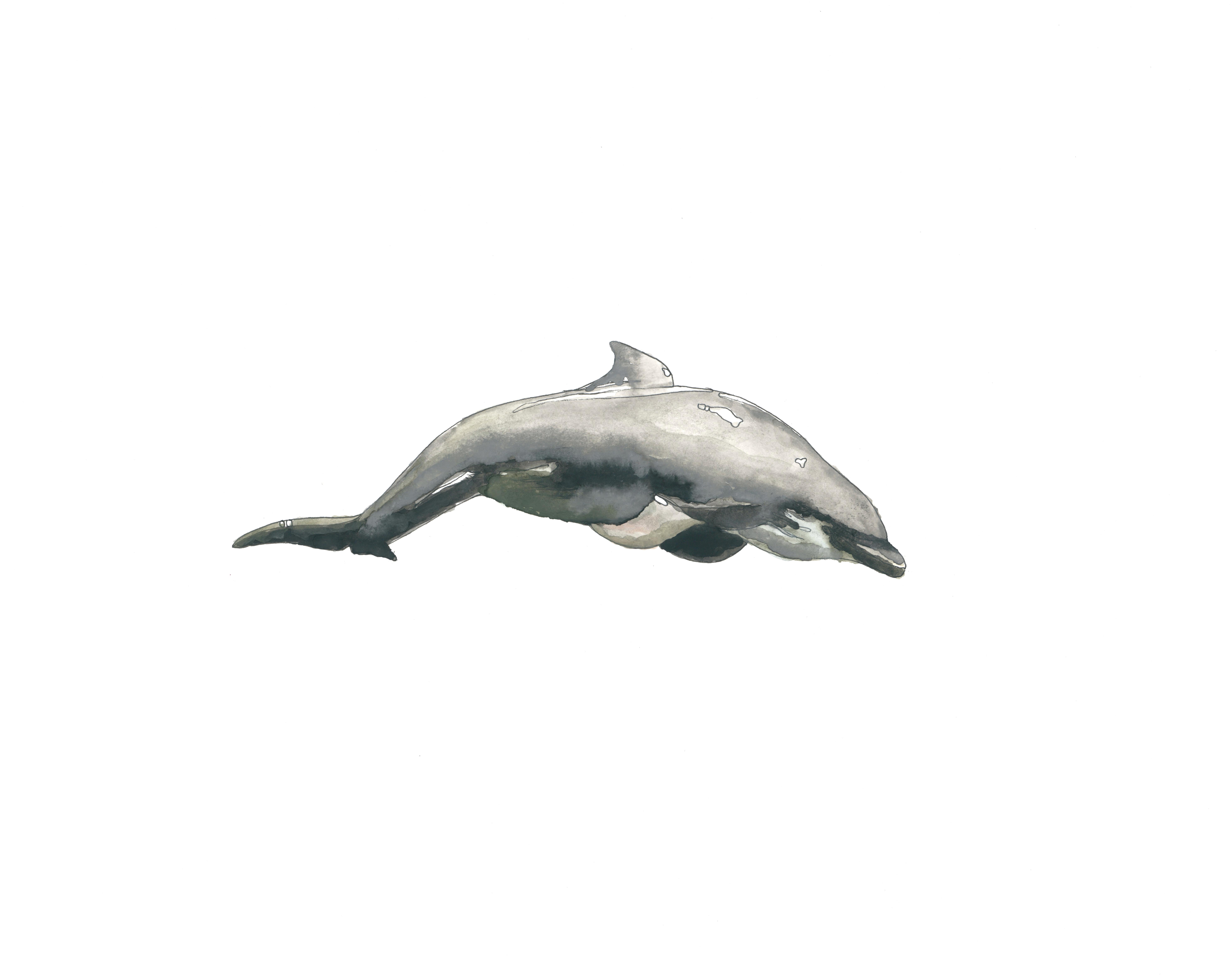 """""""dolphin"""" // 11x14in print of watercolor 50$ in printshop"""
