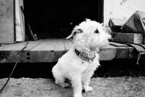 bianco-Jack Russell terrier