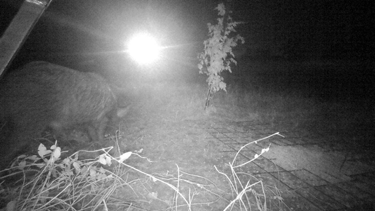 Feeder Shy Boar Ignores HT Light