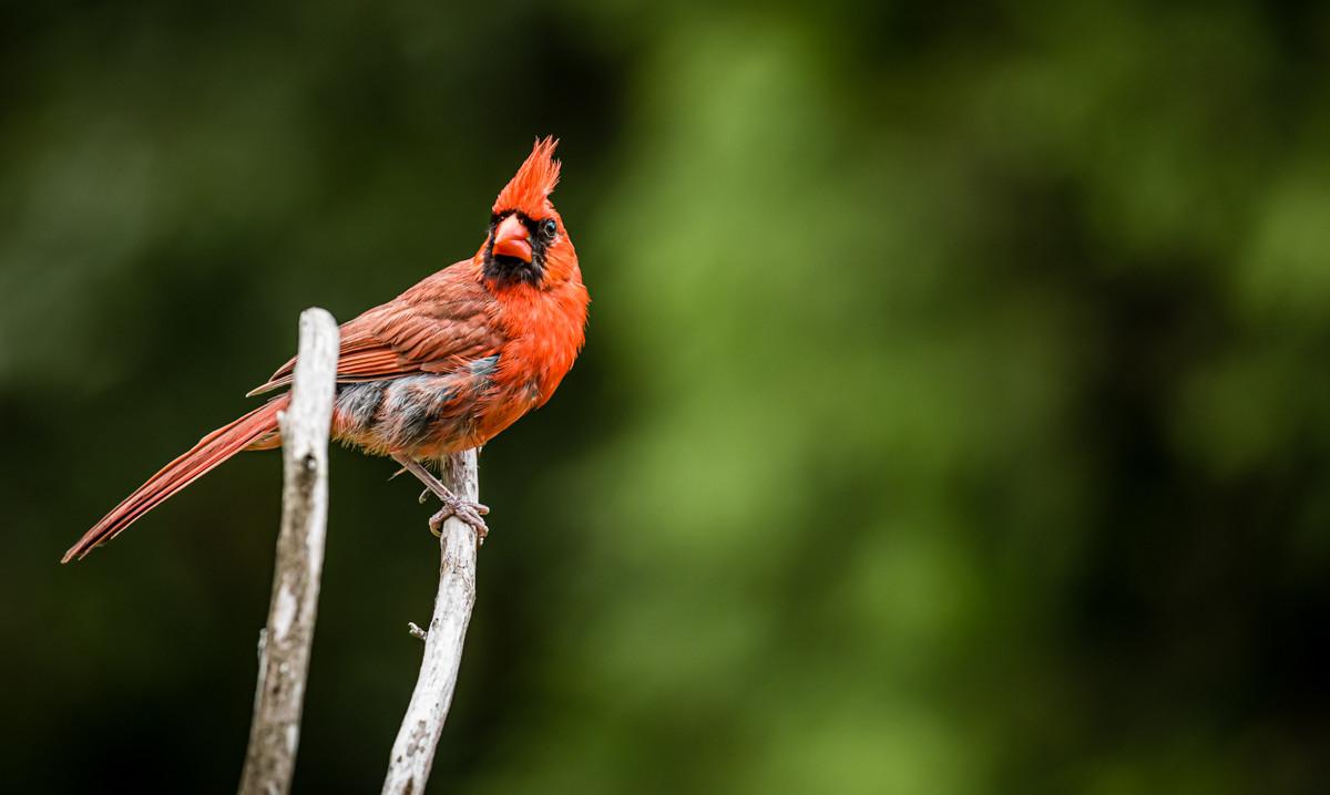Red Cardinal NC.jpg
