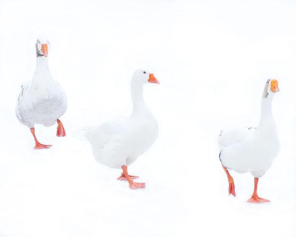 Ducks3_edited-1.jpg
