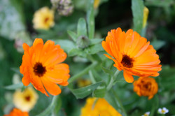 Calendula - Ringelblume