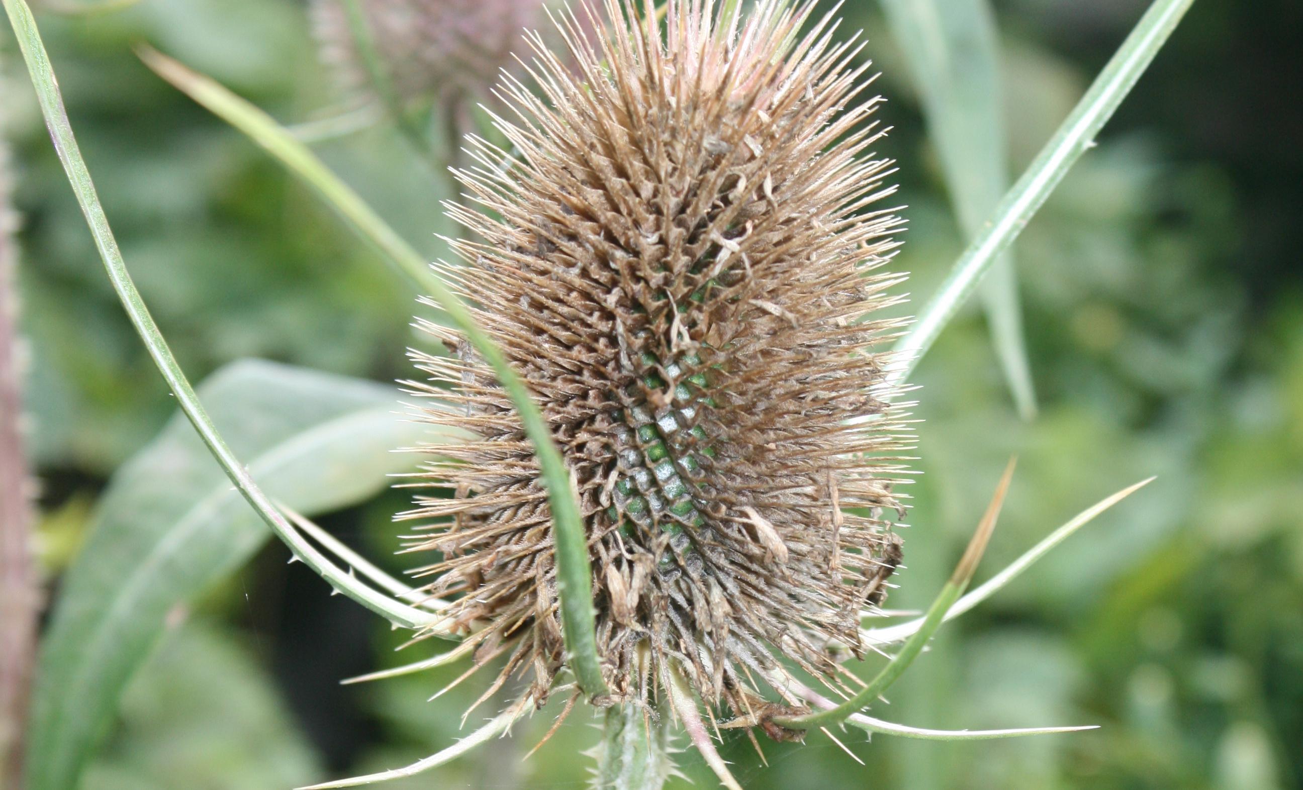 Dipsacus fullonum - Wilde Karde