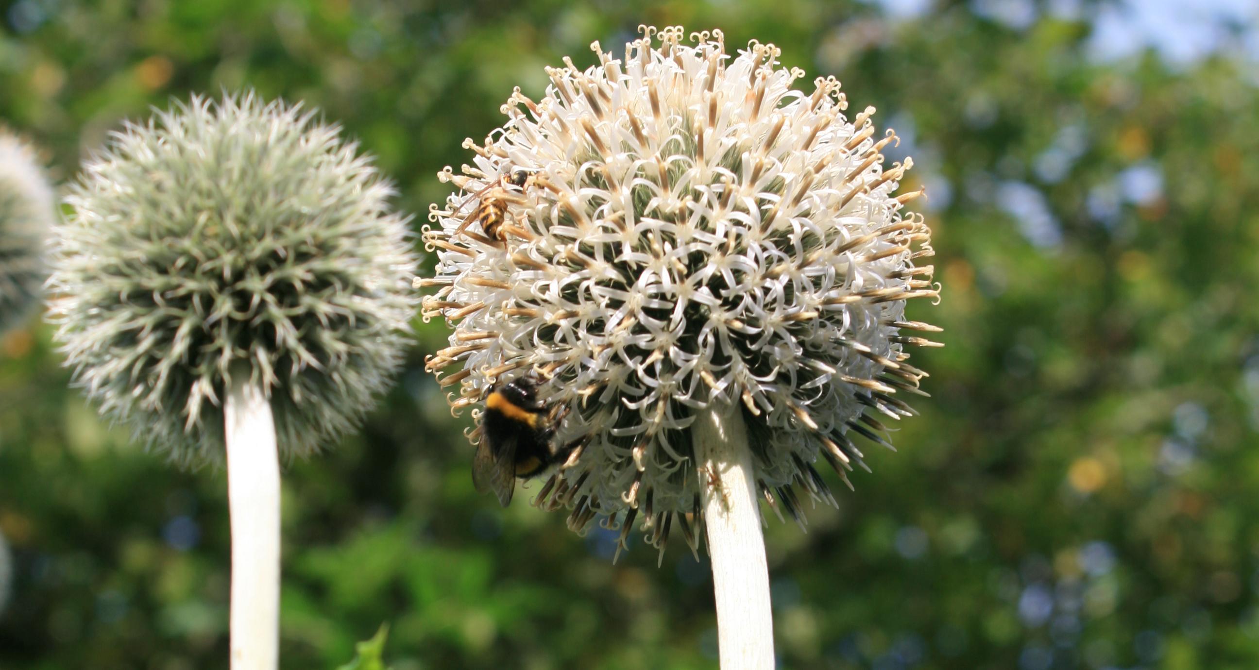 Echinops - Kugeldistel
