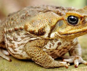 The Cane Toad: An Invasive Species