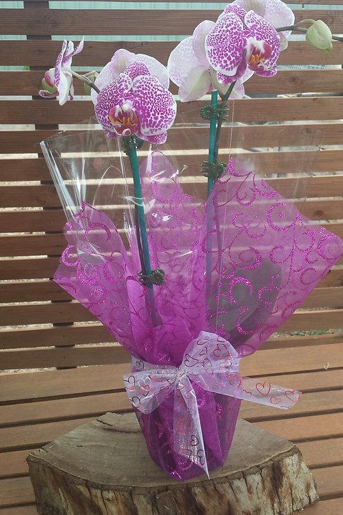 Phalaenopsis Orchid Plant or Cymbidium Plant