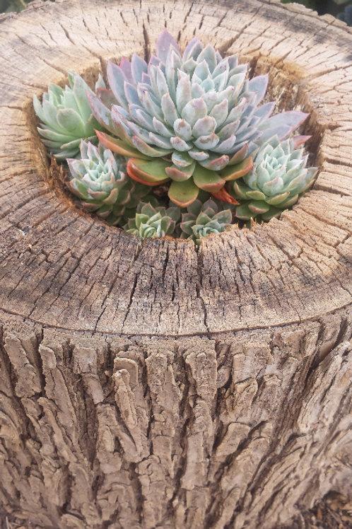 Succulent Logs