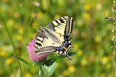swallowtail-butterfly-364329_1920.jpg