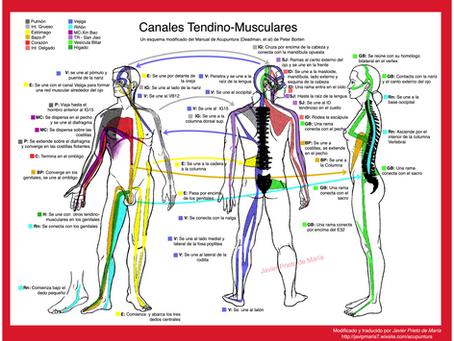 MERIDIANOS TENDINO-MUSCULARES