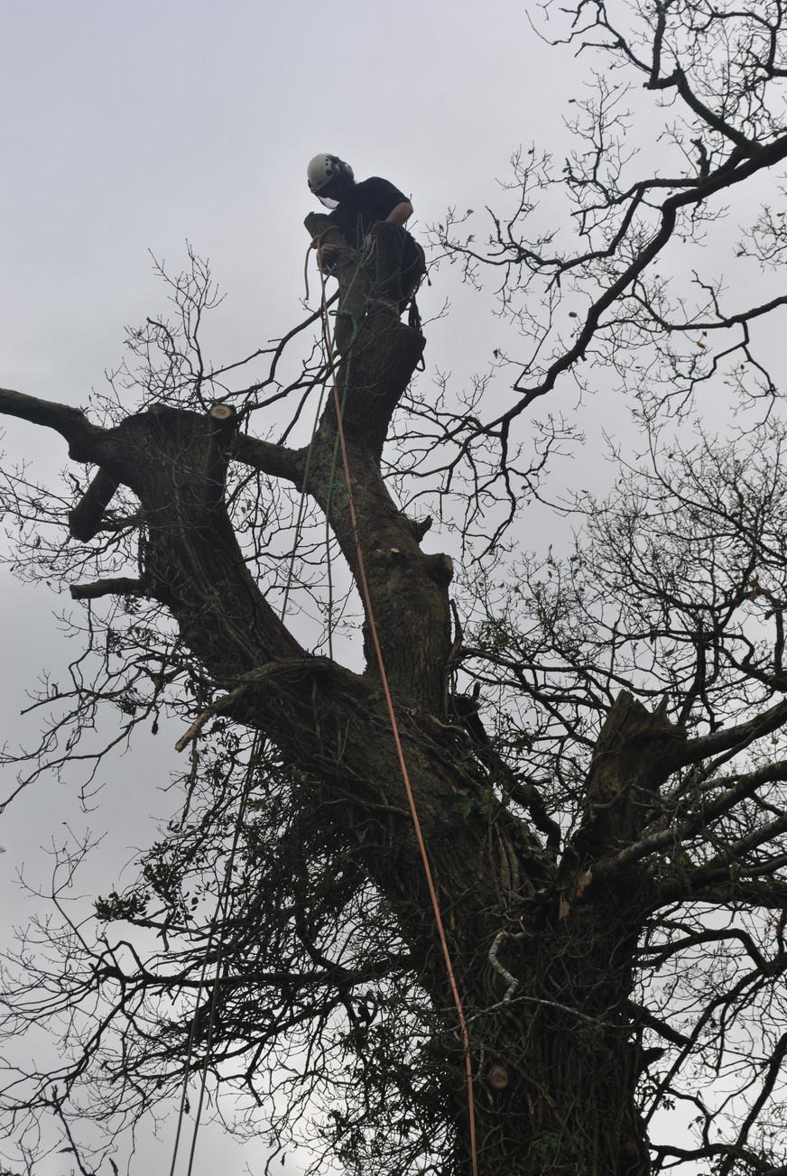 TREE SURGERY POLLARD.JPG
